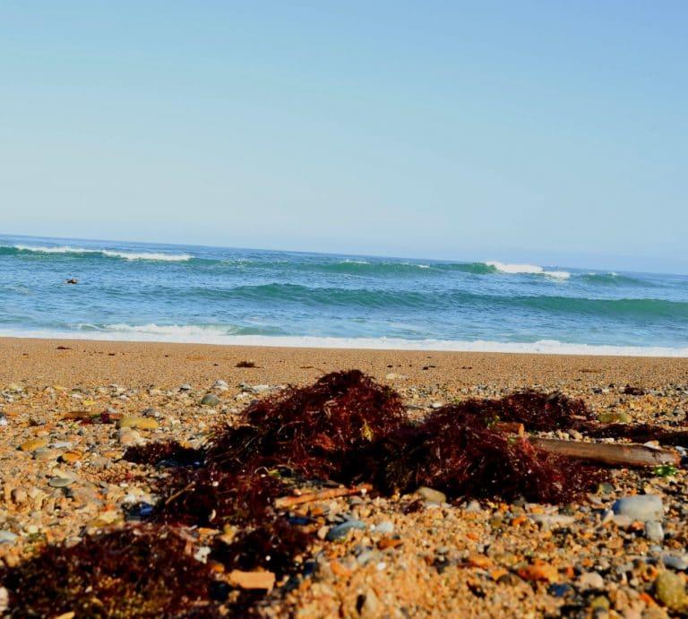 algues rouges