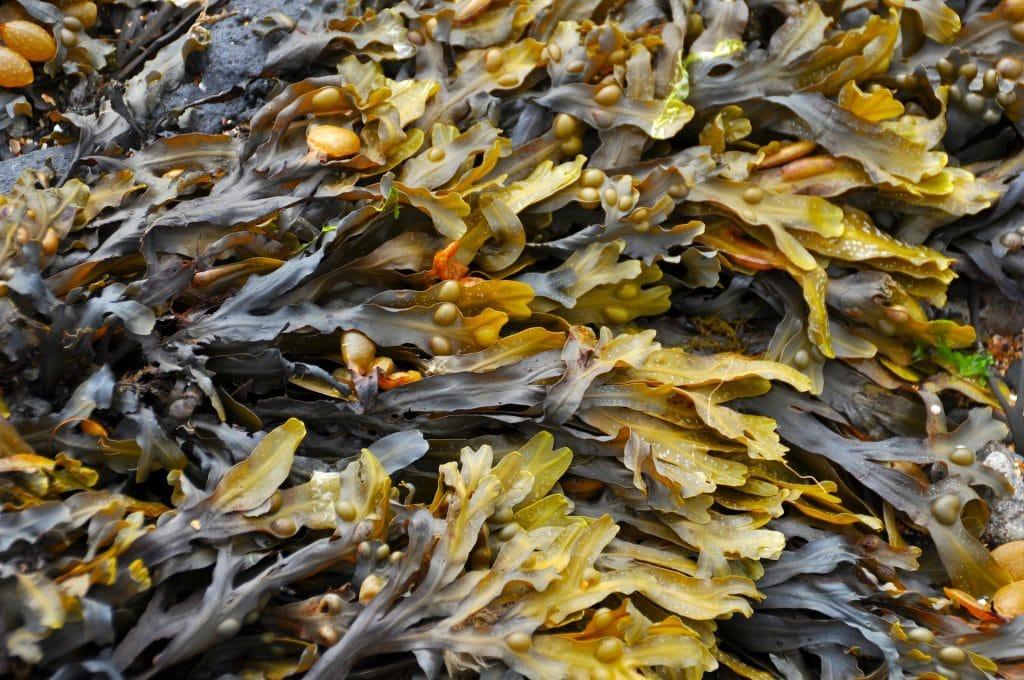 Seaweed of the Basque Coast