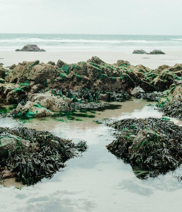 Algues vertes échouées sur la plage